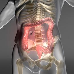 Dickdarm  Verdauungsorgan im menschlichen Krper