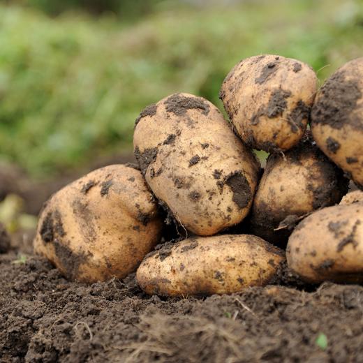 Zawartość wybranych składników mineralnych w ziemniakach a wartość żywieniowa